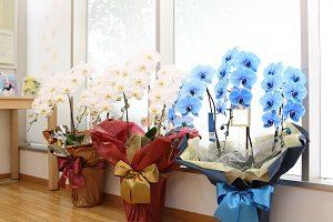 開院祝い青い胡蝶蘭